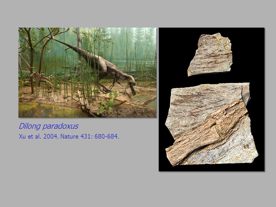 Dilong paradoxus Xu et al. 2004. Nature 431: 680-684.