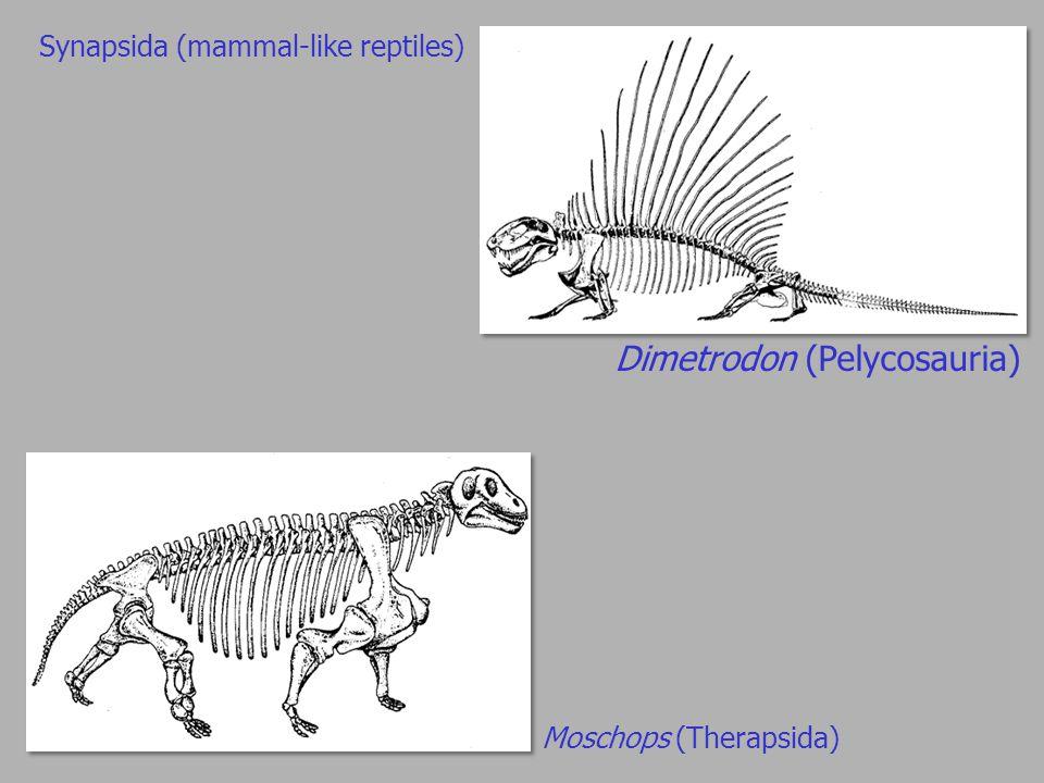 Dimetrodon (Pelycosauria) Moschops (Therapsida) Synapsida (mammal-like reptiles)