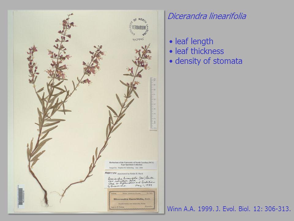 Dicerandra linearifolia Winn A.A. 1999. J. Evol.