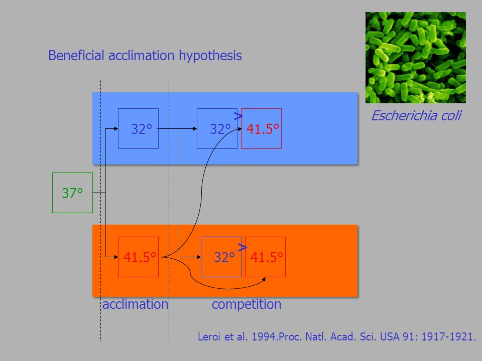 Beneficial acclimation hypothesis Escherichia coli 37°32° competition 41.5° > > Leroi et al.