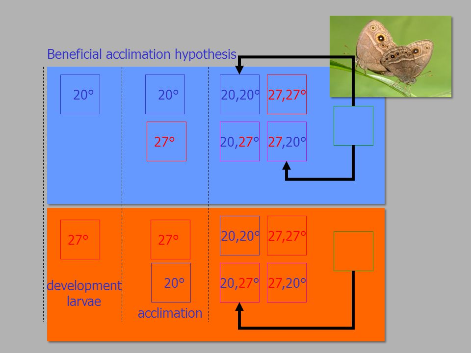 Beneficial acclimation hypothesis 20° 27° development larvae 20,20° 20,27° 27,27° 27,20° 20,20° 20,27° 27,27° 27,20° 20° 27° 20° acclimation