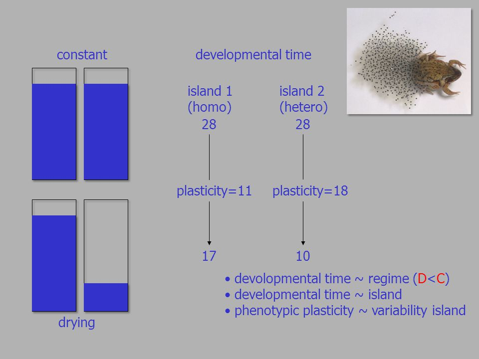 constant drying developmental time island 1 (homo) plasticity= island 2 (hetero) plasticity=18 devolopmental time ~ regime (D<C) developmental time ~ island phenotypic plasticity ~ variability island