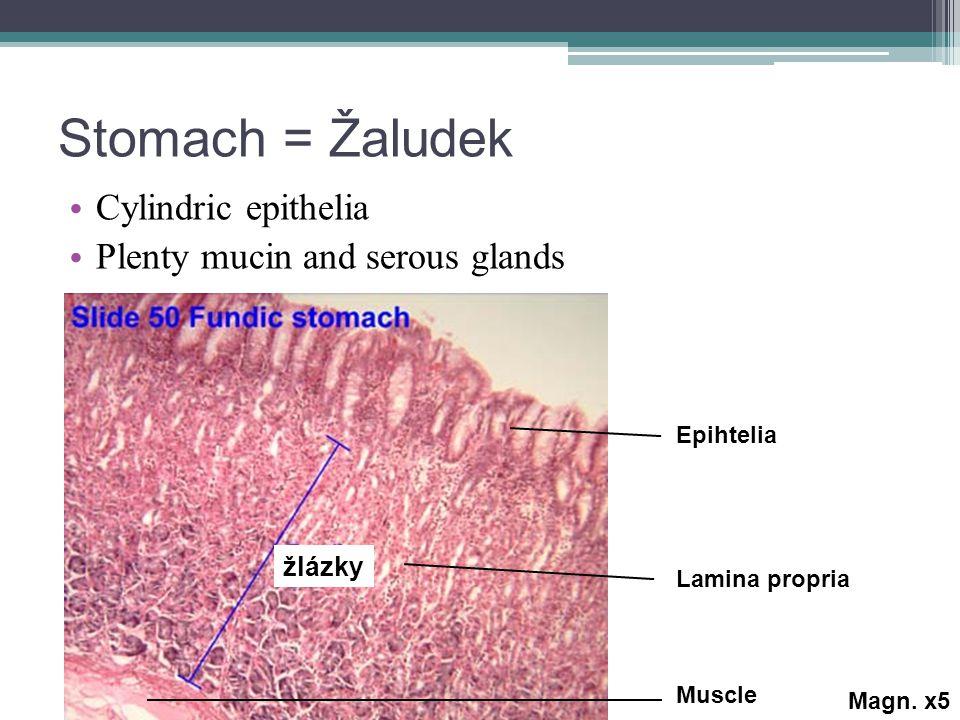 Stomach = Žaludek Cylindric epithelia Plenty mucin and serous glands žlázky Epihtelia Lamina propria Muscle Magn.