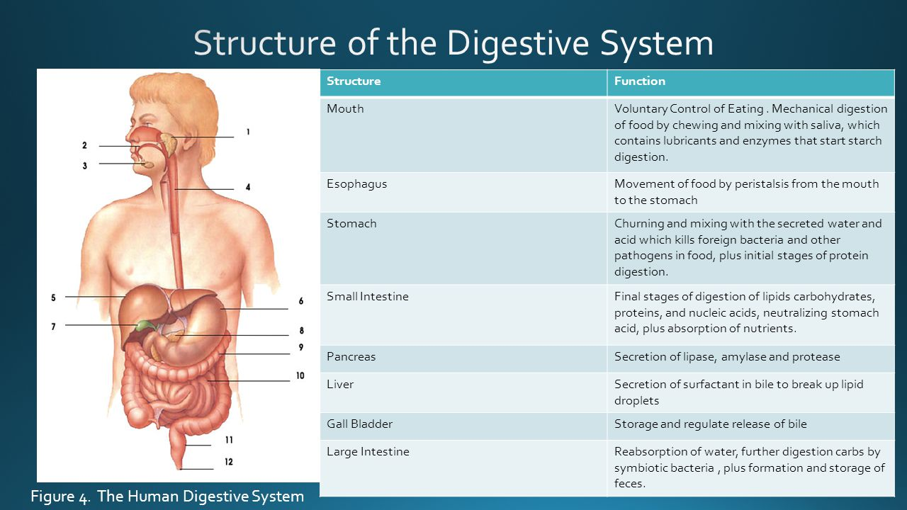 StructureFunction MouthVoluntary Control of Eating. Mechanical digestion of food by chewing and mixing with saliva, which contains lubricants and enzy