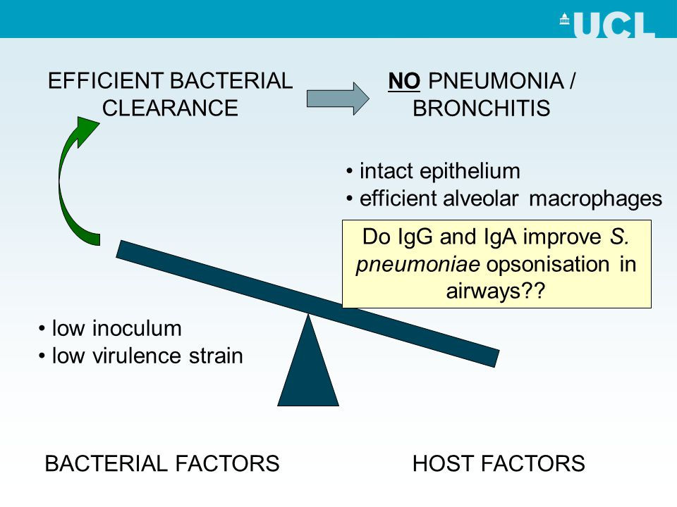 EFFICIENT BACTERIAL CLEARANCE NO PNEUMONIA / BRONCHITIS low inoculum low virulence strain intact epithelium efficient alveolar macrophages BACTERIAL FACTORSHOST FACTORS Do IgG and IgA improve S.