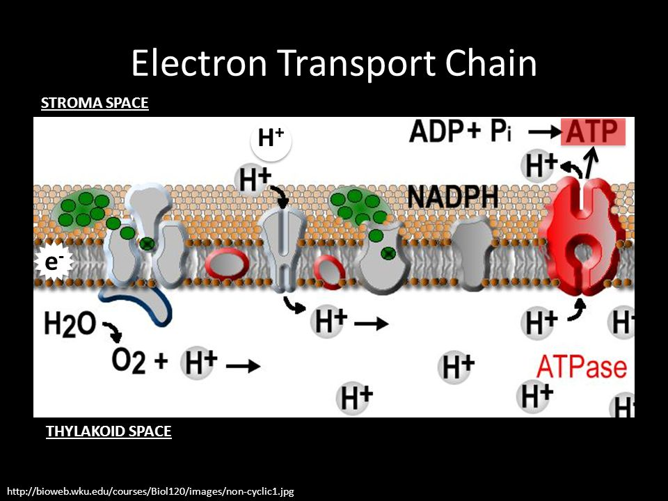 Electron Transport Chain http://bioweb.wku.edu/courses/Biol120/images/non-cyclic1.jpg e-e- H+H+ STROMA SPACE THYLAKOID SPACE