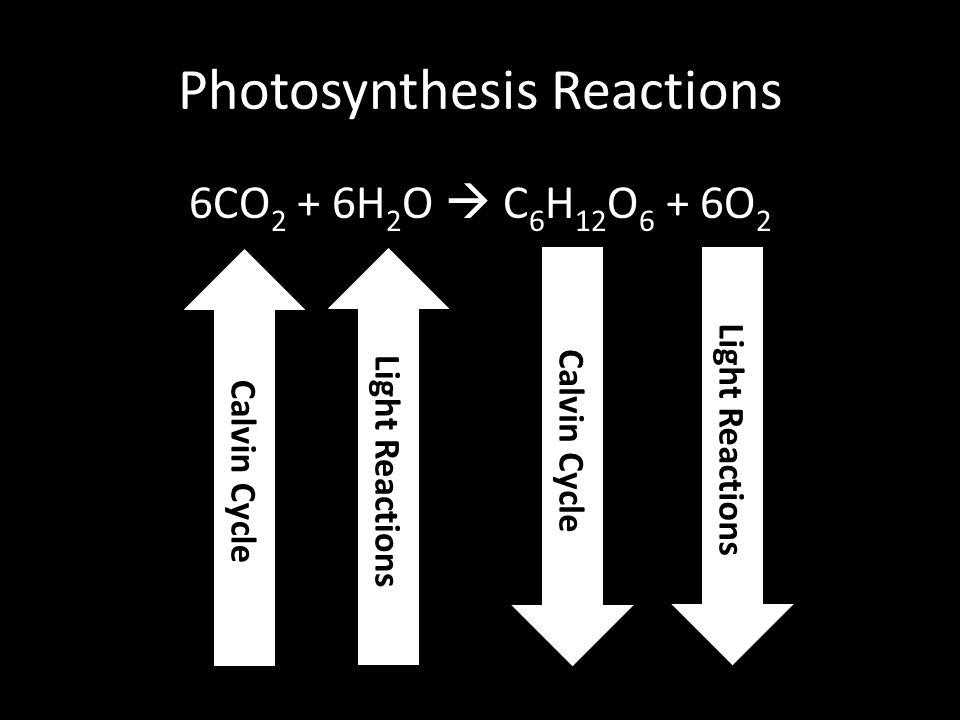 Photosynthesis Reactions 6CO 2 + 6H 2 O  C 6 H 12 O 6 + 6O 2 Light Reactions Calvin Cycle