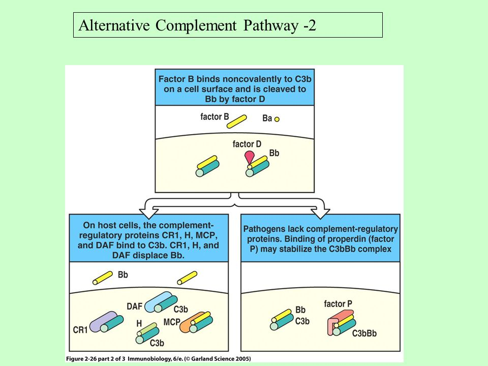 Alternative Complement Pathway -2
