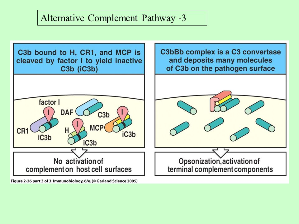 Alternative Complement Pathway -3