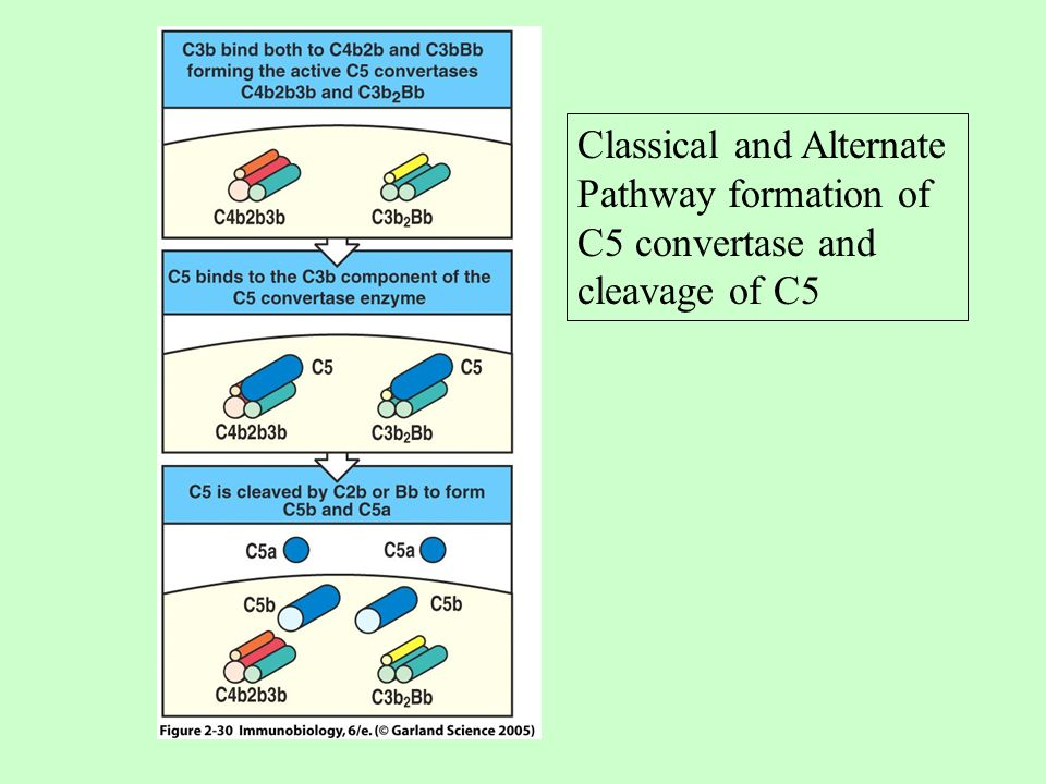 Classical and Alternate Pathway formation of C5 convertase and cleavage of C5