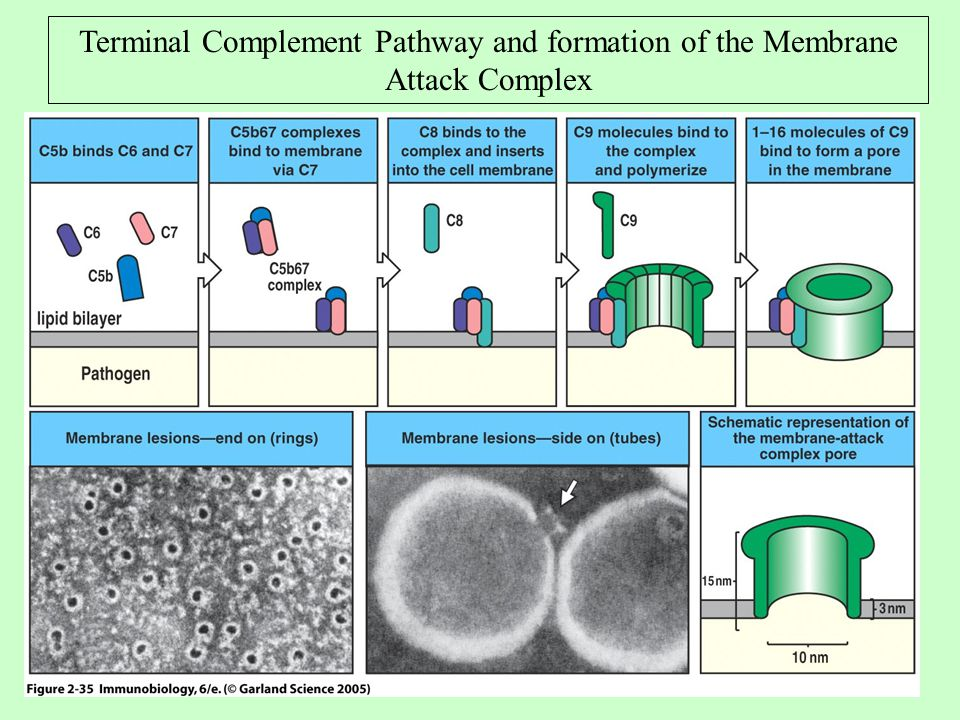 Terminal Complement Pathway and formation of the Membrane Attack Complex