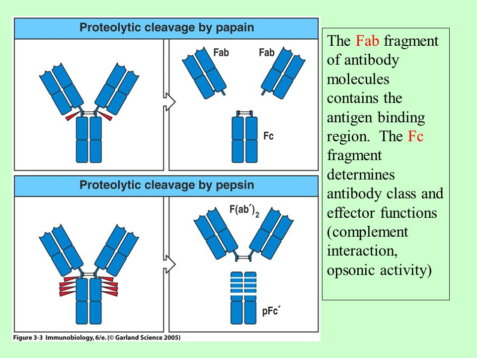The Fab fragment of antibody molecules contains the antigen binding region.