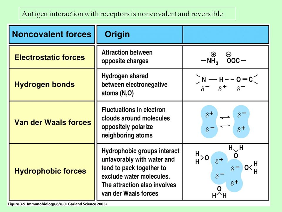 Antigen interaction with receptors is noncovalent and reversible.