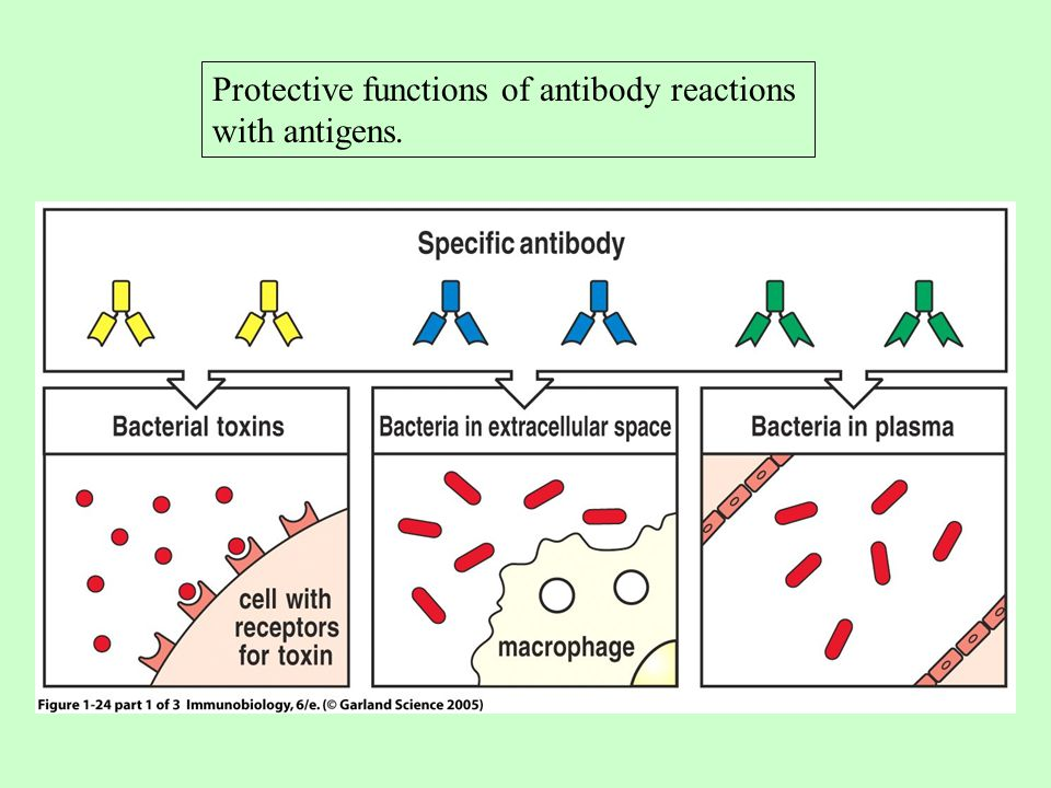 Protective functions of antibody reactions with antigens.