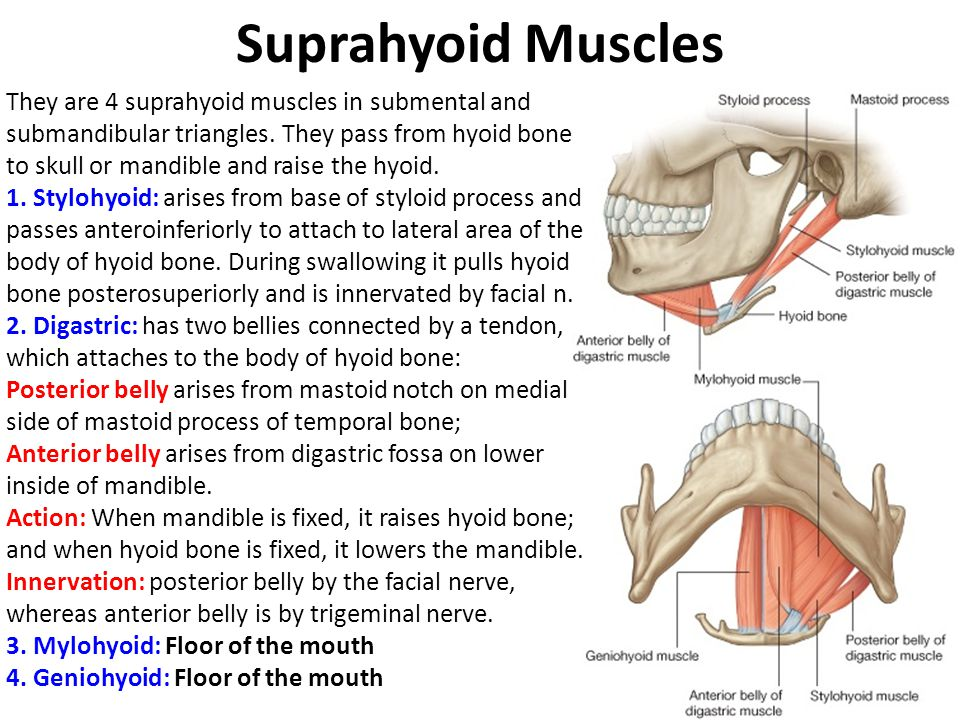 Infrahyoid Muscles 1.