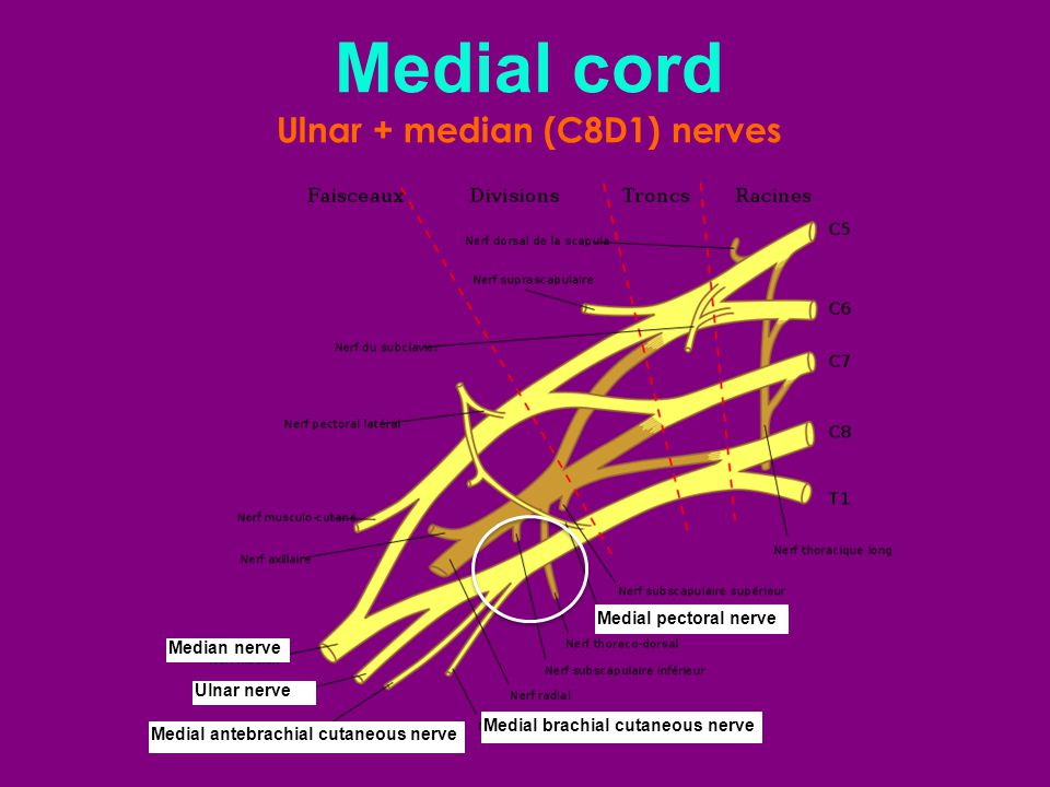 Medial brachial cutaneous nerve Medial antebrachial cutaneous nerve Medial pectoral nerve Medial cord Ulnar + median (C8D1) nerves Median nerve Ulnar nerve
