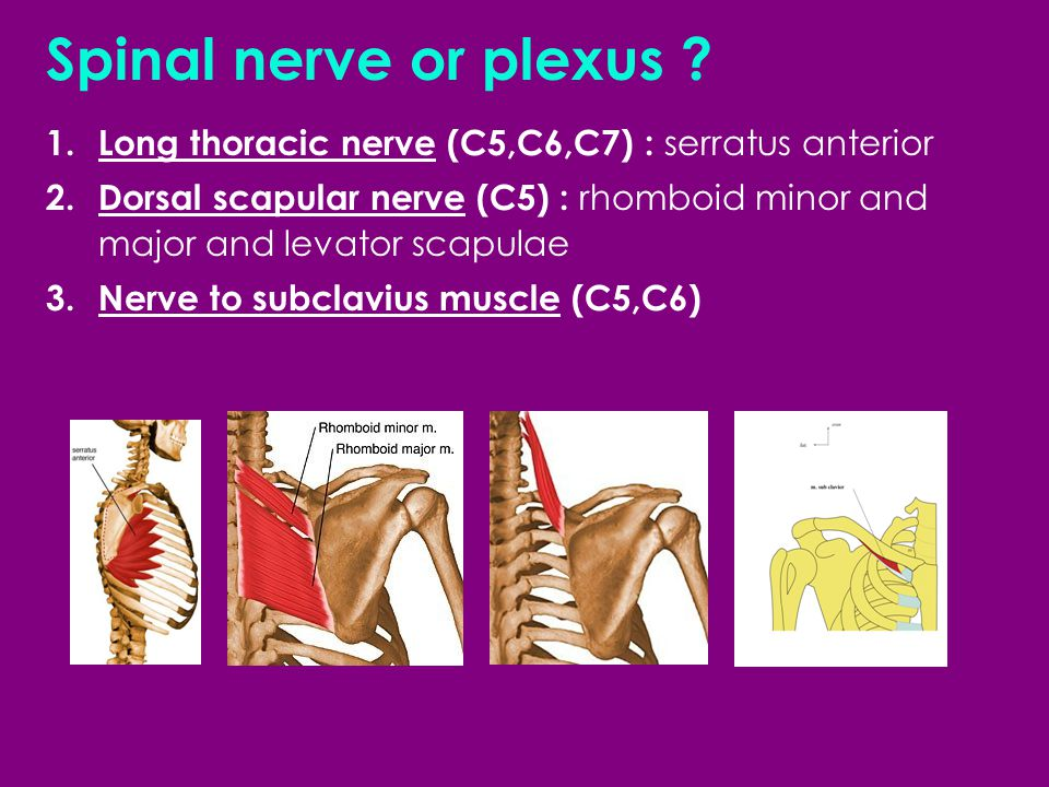 1. Long thoracic nerve (C5,C6,C7) : serratus anterior 2. Dorsal scapular nerve (C5) : rhomboid minor and major and levator scapulae 3.Nerve to subclav