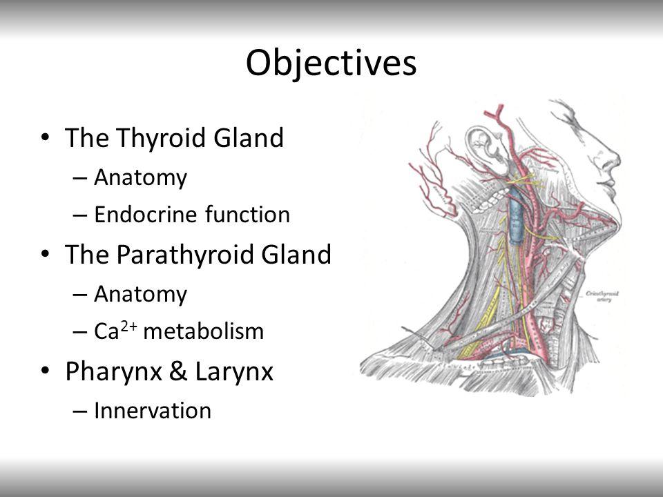 Objectives The Thyroid Gland – Anatomy – Endocrine function The Parathyroid Gland – Anatomy – Ca 2+ metabolism Pharynx & Larynx – Innervation