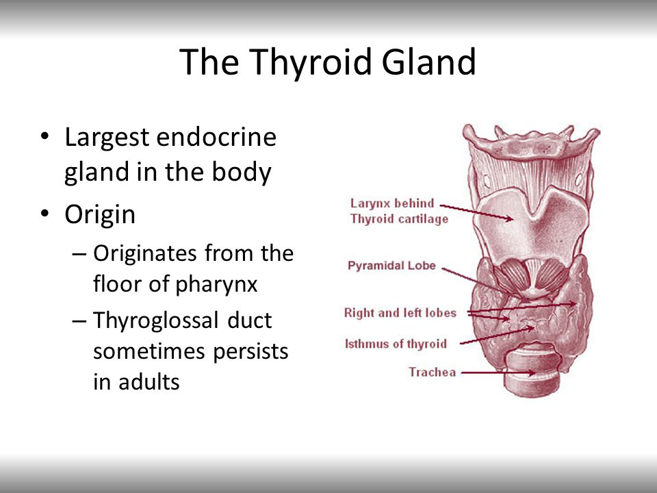 The Thyroid Gland Largest endocrine gland in the body Origin – Originates from the floor of pharynx – Thyroglossal duct sometimes persists in adults