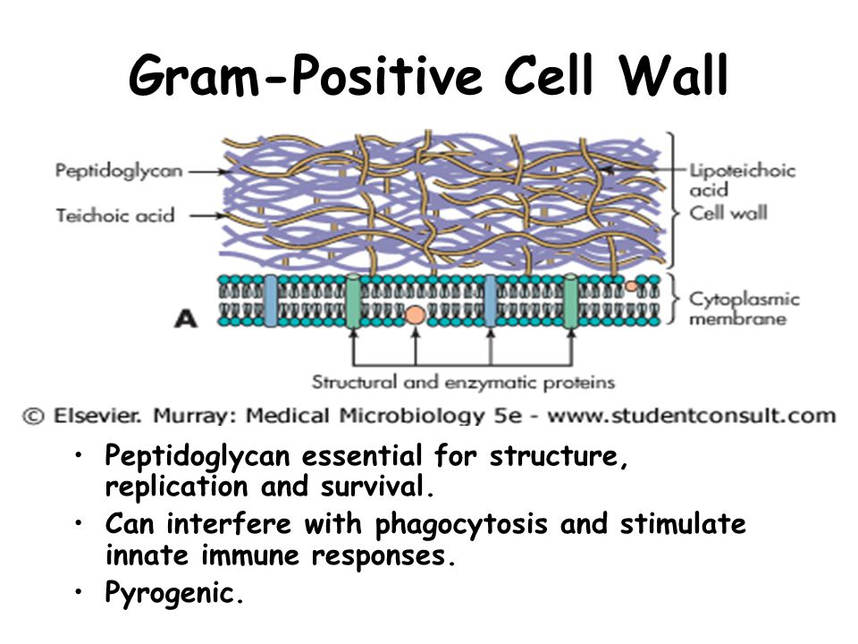 Gram-Positive Cell Wall Thick, multilayered cell wall consisting mainly of peptidoglycan (150-500 Å).