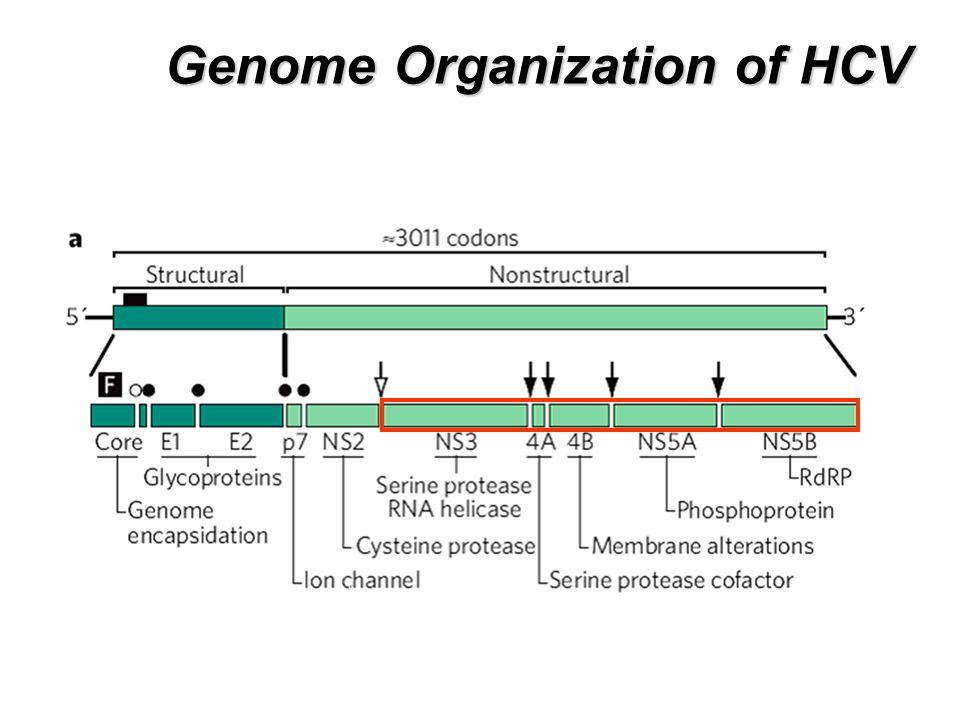 Genome Organization of HCV