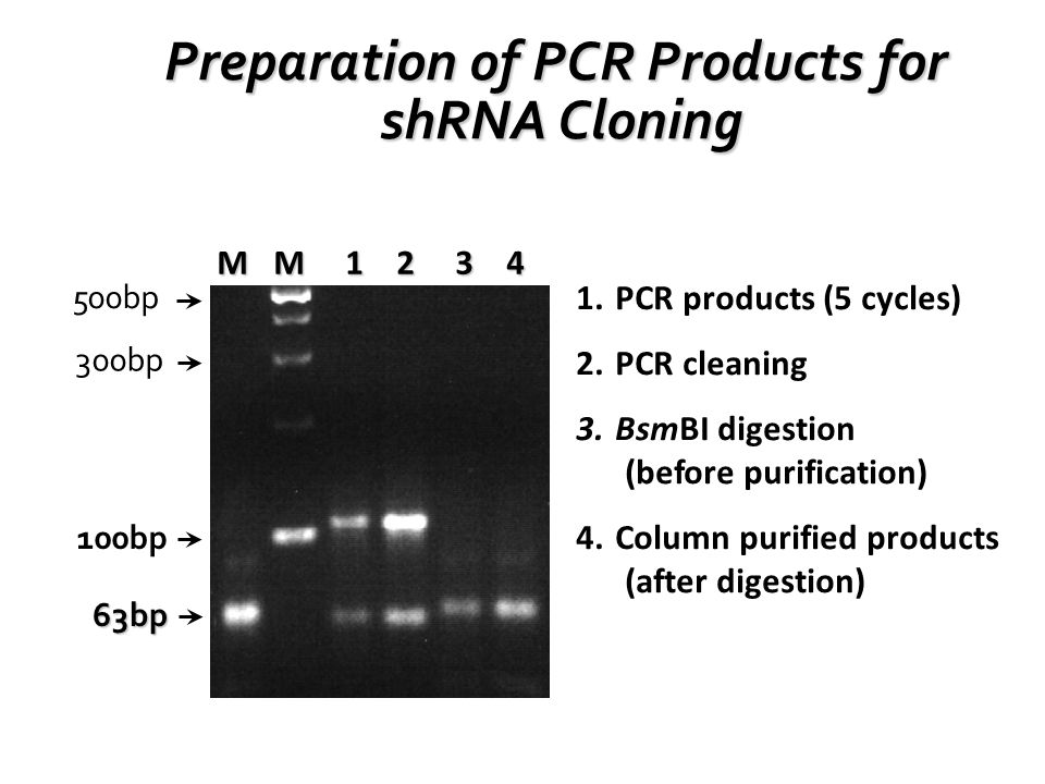 500bp 300bp 100bp M M 1 2 3 4 63bp 1.PCR products (5 cycles) 2.PCR cleaning 3.BsmBI digestion (before purification) 4.Column purified products (after digestion) Preparation of PCR Products for shRNA Cloning