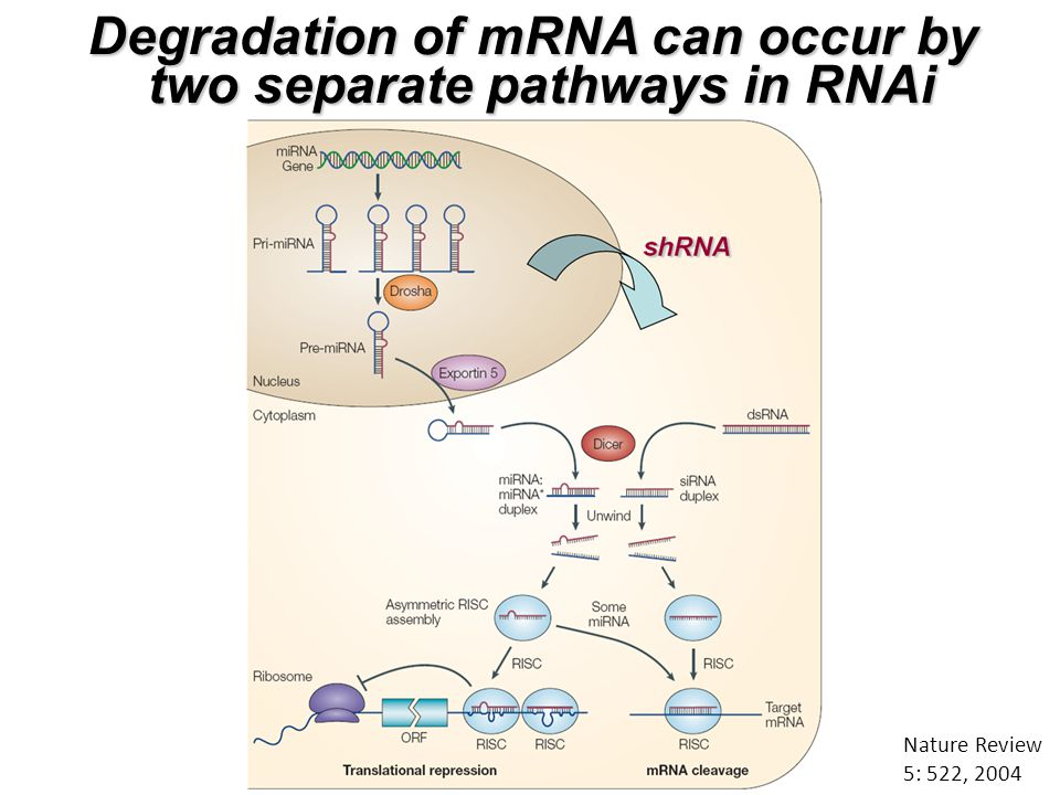 Nature Review 5: 522, 2004 Degradation of mRNA can occur by two separate pathways in RNAi