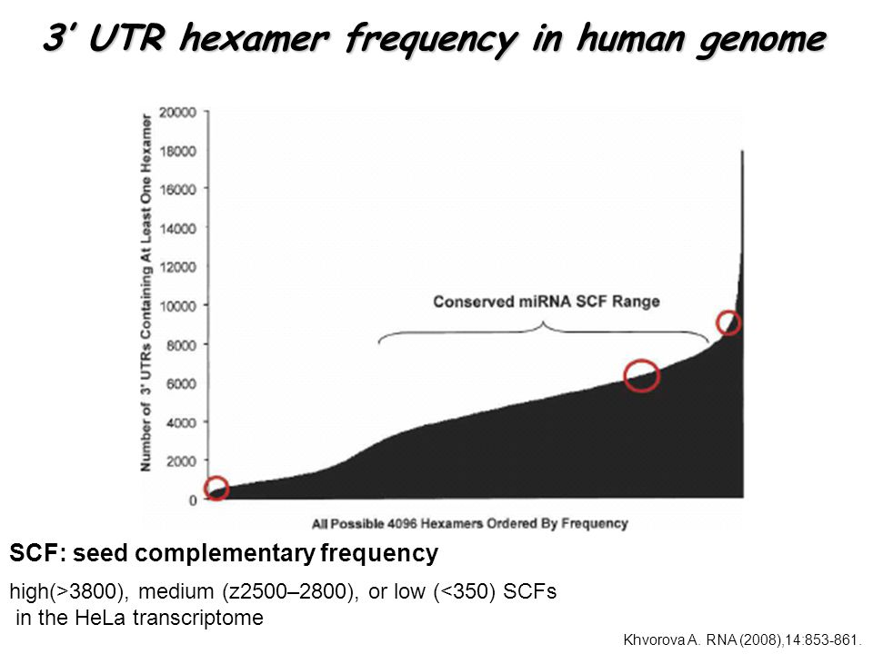 3' UTR hexamer frequency in human genome SCF: seed complementary frequency high(>3800), medium (z2500–2800), or low (<350) SCFs in the HeLa transcriptome Khvorova A.