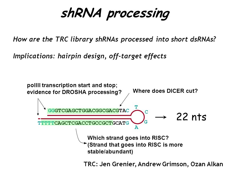 How are the TRC library shRNAs processed into short dsRNAs.
