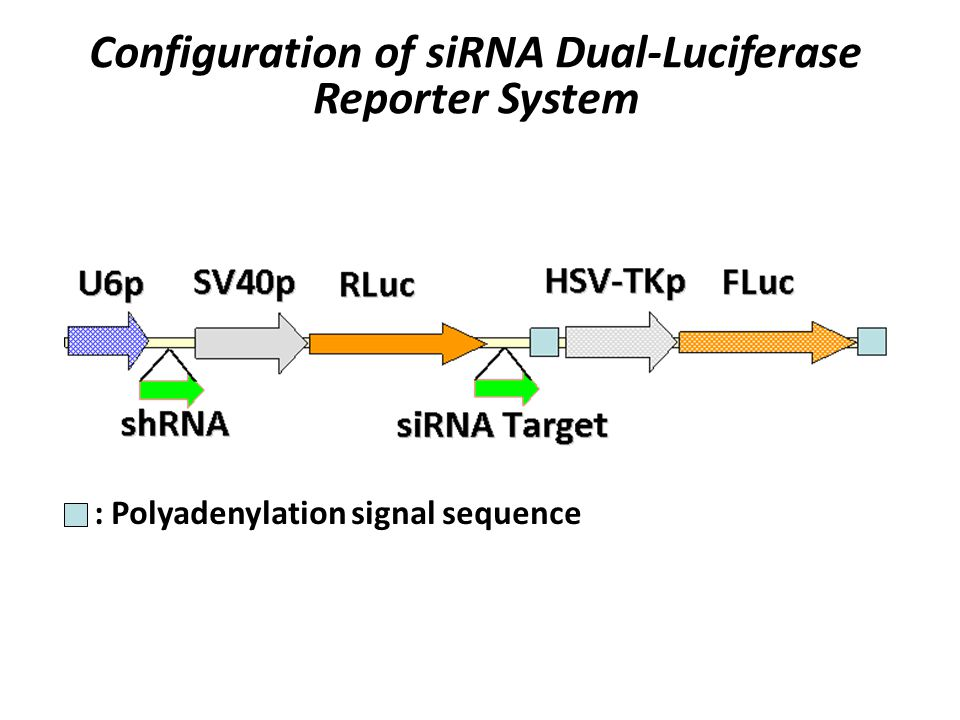 Configuration of siRNA Dual-Luciferase Reporter System : Polyadenylation signal sequence