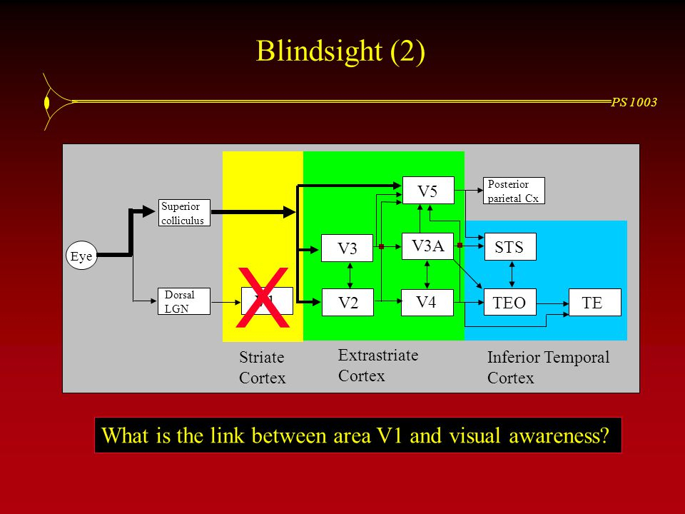 PS 1003 Blindsight (2) Eye Superior colliculus Dorsal LGN V1 V2 V3 V4 V3A STS TEO V5 TE Posterior parietal Cx Striate Cortex Extrastriate Cortex Inferior Temporal Cortex X What is the link between area V1 and visual awareness