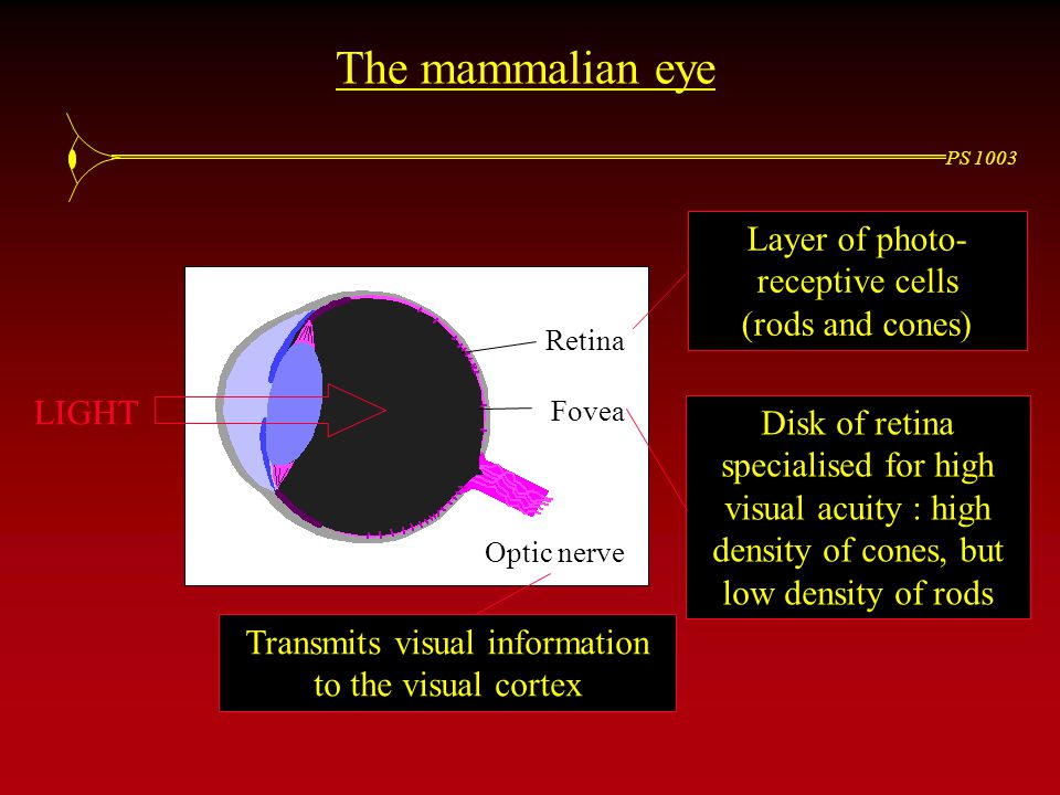 PS 1003 The mammalian eye Retina Fovea Optic nerve LIGHT Layer of photo- receptive cells (rods and cones) Disk of retina specialised for high visual acuity : high density of cones, but low density of rods Transmits visual information to the visual cortex