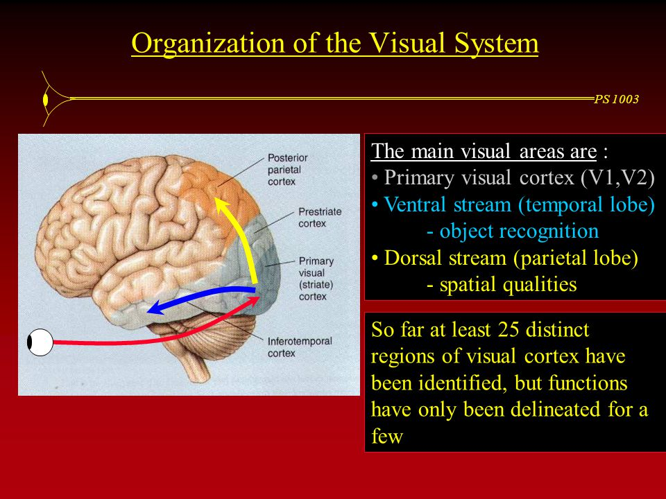 PS 1003 The main visual areas are : Primary visual cortex (V1,V2) Ventral stream (temporal lobe) - object recognition Dorsal stream (parietal lobe) - spatial qualities Organization of the Visual System So far at least 25 distinct regions of visual cortex have been identified, but functions have only been delineated for a few