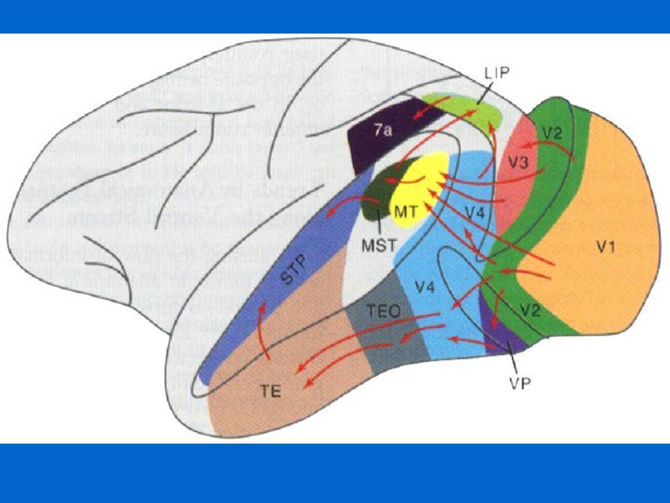 Complex Cell Responses in Inferior Temporal Cortex 1.