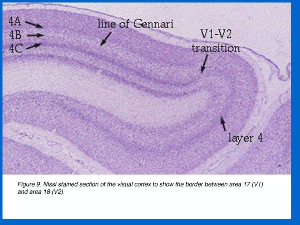 Two anatomical pathways 1.Ventral Pathway: Retinal P cells → Parvo LGN → V1 (4C) → V2 → V4 → IT (Inferior Temporal Cortex) 2.