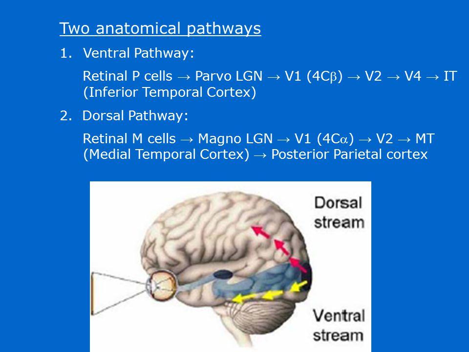 Two anatomical pathways 1.Ventral Pathway: Retinal P cells → Parvo LGN → V1 (4C) → V2 → V4 → IT (Inferior Temporal Cortex) 2. Dorsal Pathway: Retinal