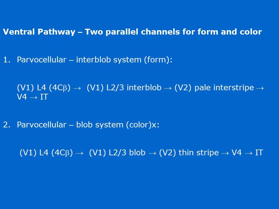 Ventral Pathway – Two parallel channels for form and color 1.Parvocellular – interblob system (form): (V1) L4 (4C) → (V1) L2/3 interblob → (V2) pale