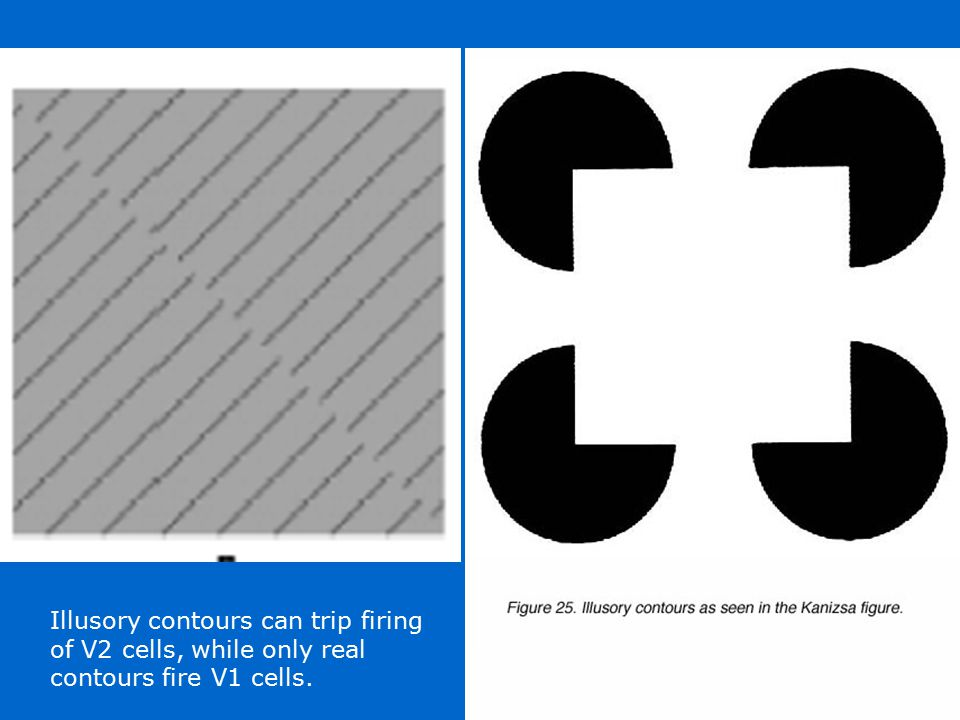 Illusory contours can trip firing of V2 cells, while only real contours fire V1 cells.