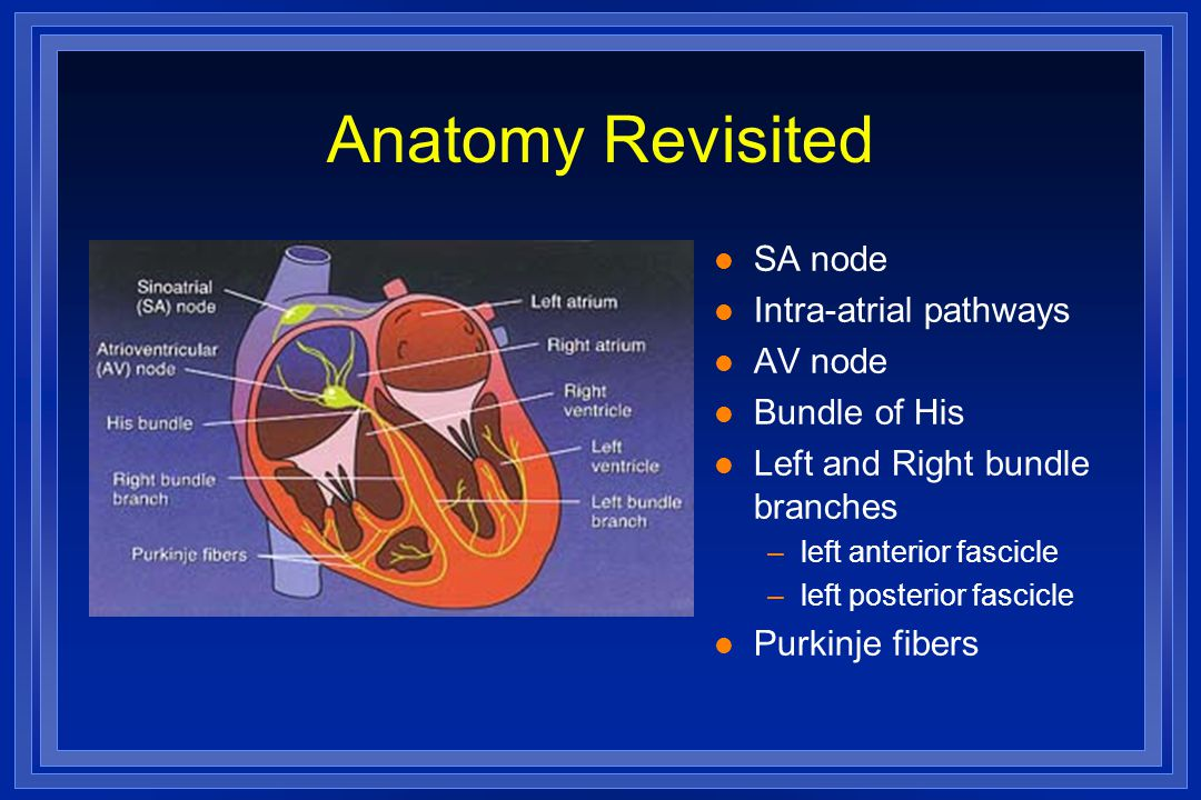 Anatomy Revisited l SA node l Intra-atrial pathways l AV node l Bundle of His l Left and Right bundle branches –left anterior fascicle –left posterior