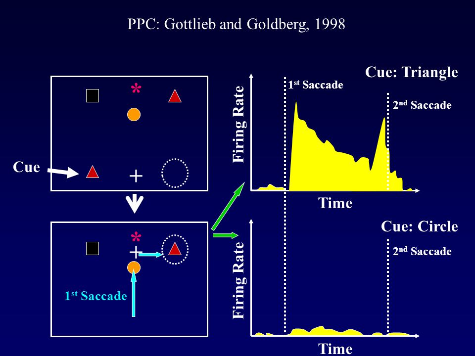 PPC: Gottlieb and Goldberg, 1998 Firing Rate Time Cue: Triangle Time Cue: Circle + * Cue * + 1 st Saccade Firing Rate 1 st Saccade 2 nd Saccade
