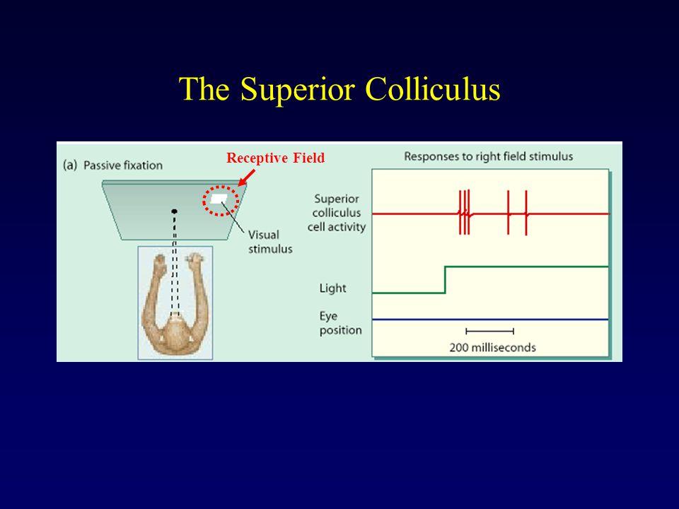 The Superior Colliculus Receptive Field