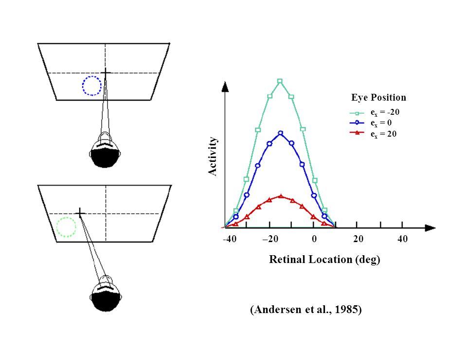 Retinal Location (deg) Activity Eye Position (Andersen et al., 1985) e x = -20 e x = 0 e x = 20 -40 –20 0 20 40