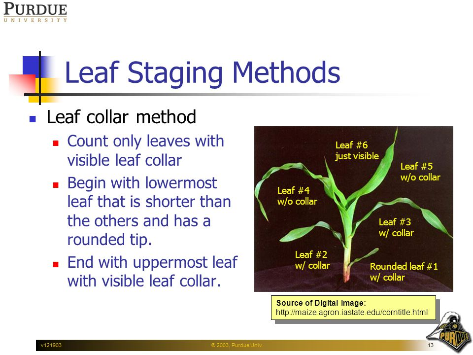 © 2003, Purdue Univ.13v121903 Leaf Staging Methods Leaf collar method Count only leaves with visible leaf collar Begin with lowermost leaf that is shorter than the others and has a rounded tip.