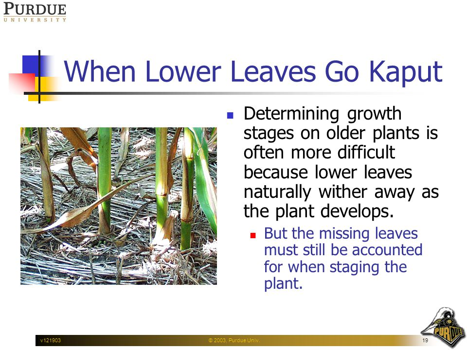 © 2003, Purdue Univ.19v121903 When Lower Leaves Go Kaput Determining growth stages on older plants is often more difficult because lower leaves natura