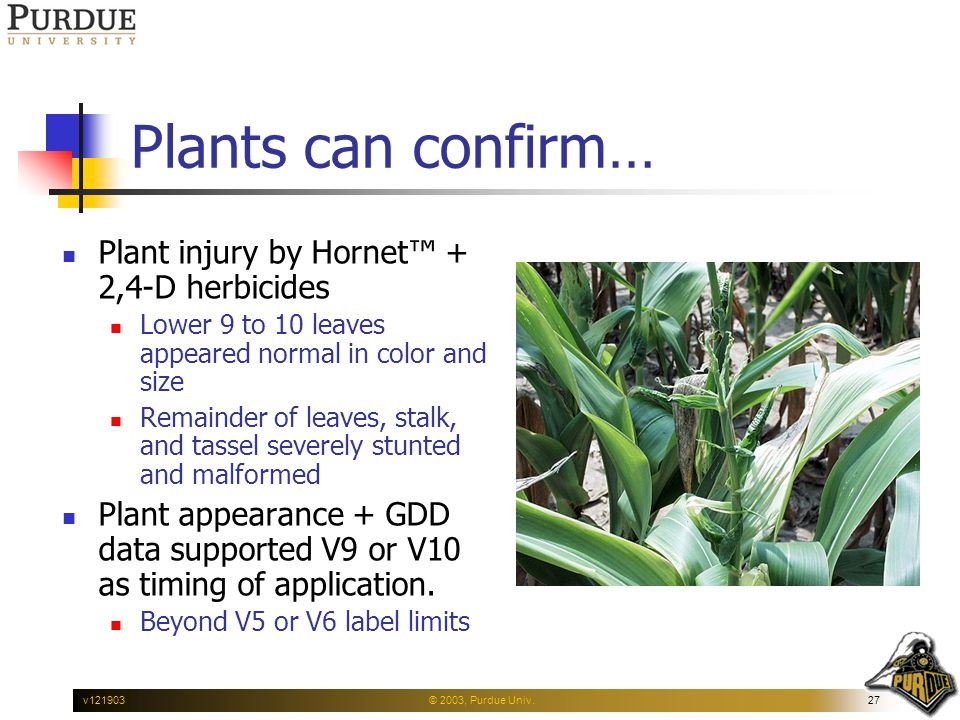© 2003, Purdue Univ.27v121903 Plants can confirm… Plant injury by Hornet™ + 2,4-D herbicides Lower 9 to 10 leaves appeared normal in color and size Remainder of leaves, stalk, and tassel severely stunted and malformed Plant appearance + GDD data supported V9 or V10 as timing of application.
