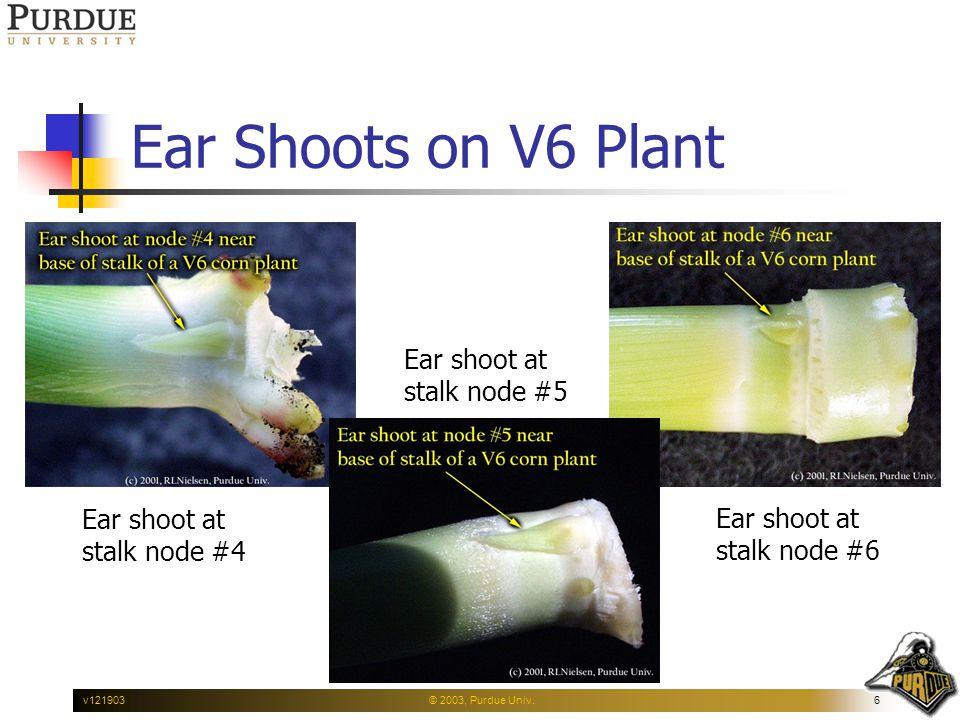 © 2003, Purdue Univ.6v121903 Ear Shoots on V6 Plant Ear shoot at stalk node #4 Ear shoot at stalk node #6 Ear shoot at stalk node #5