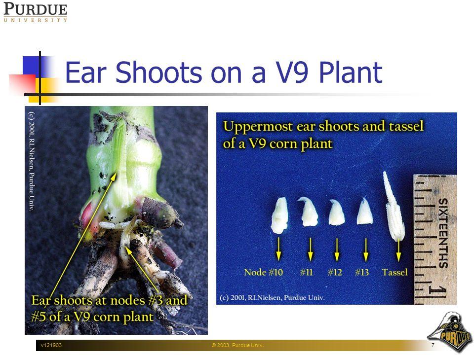 © 2003, Purdue Univ.7v121903 Ear Shoots on a V9 Plant