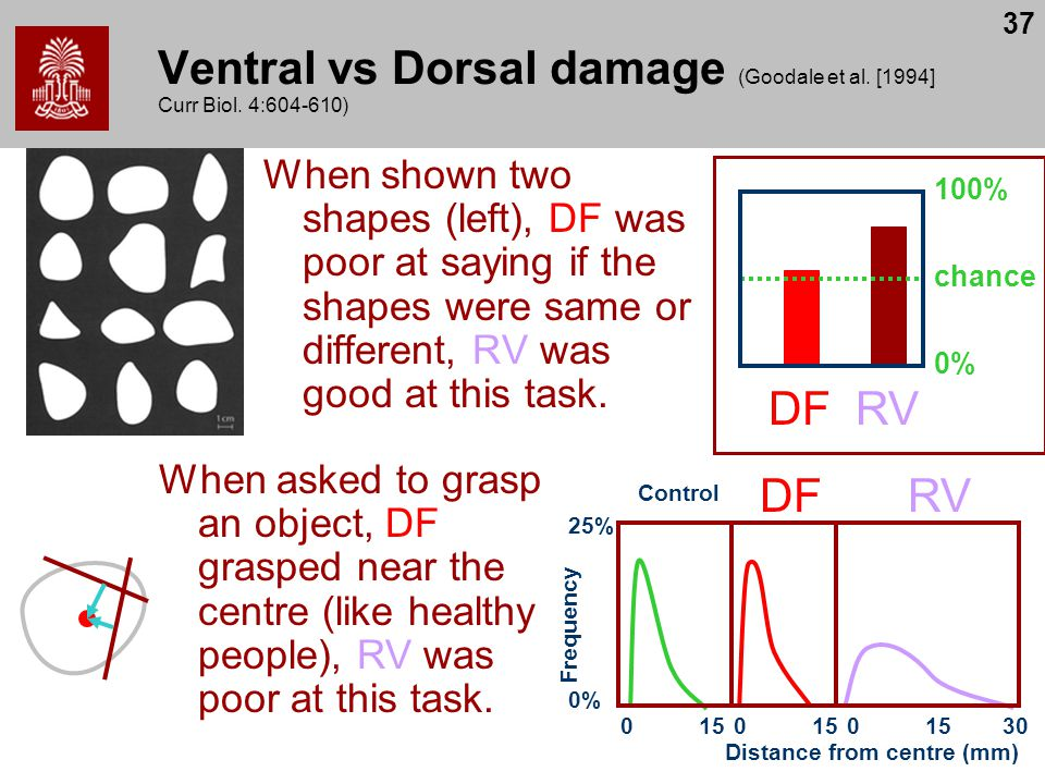 37 Ventral vs Dorsal damage (Goodale et al. [1994] Curr Biol. 4:604-610) When shown two shapes (left), DF was poor at saying if the shapes were same o