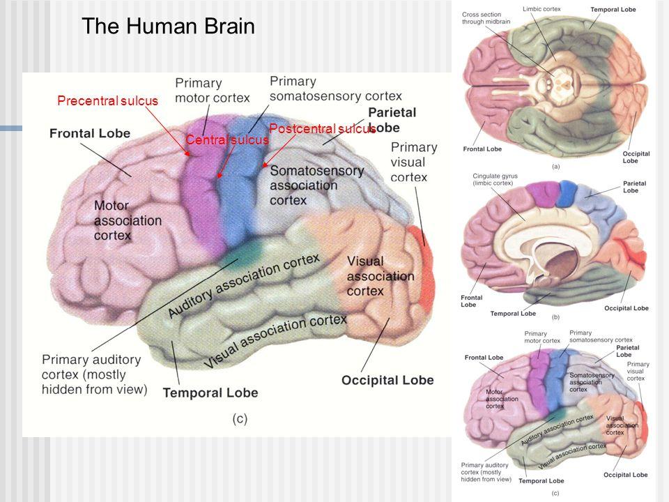 Precentral sulcus Central sulcus Postcentral sulcus The Human Brain