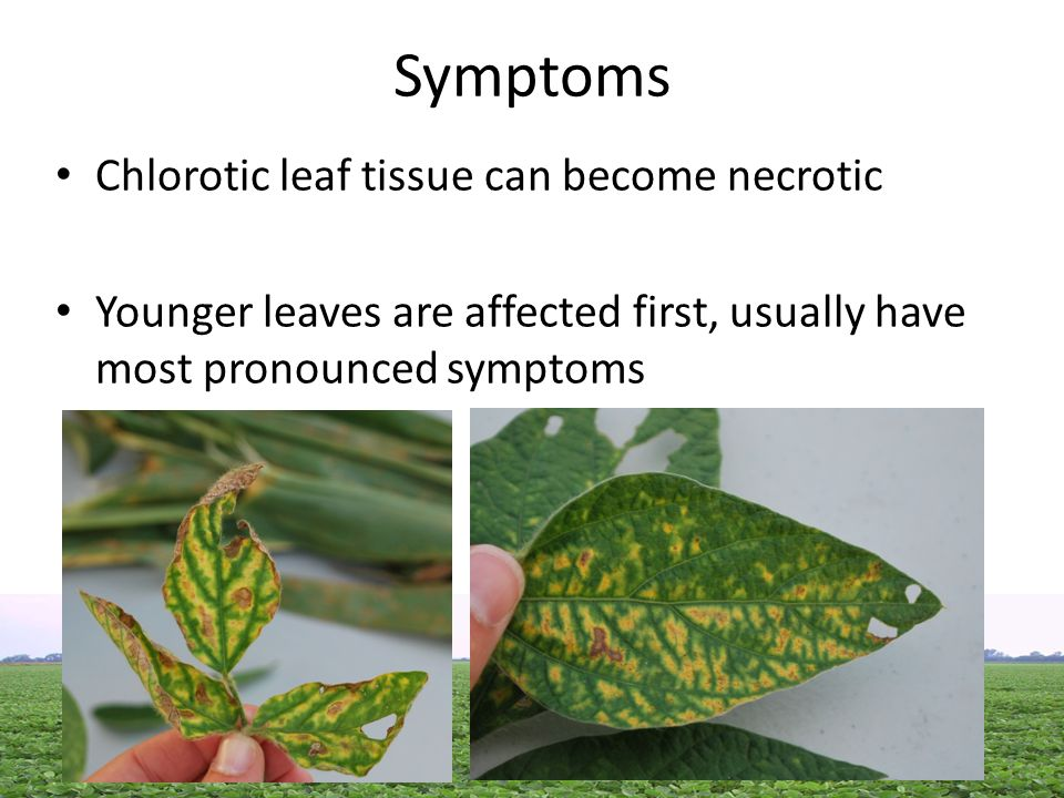 Symptoms Chlorotic leaf tissue can become necrotic Younger leaves are affected first, usually have most pronounced symptoms